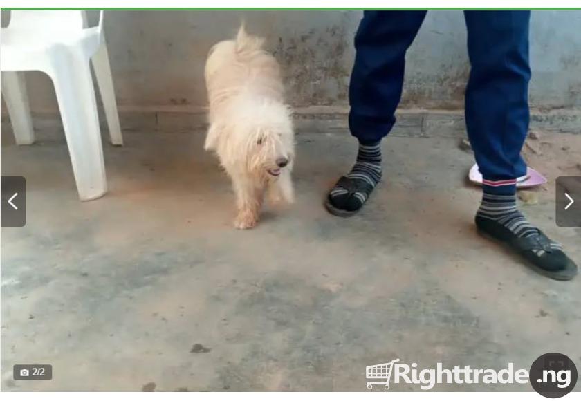 6-12 Month Male Purebred Lhasa Apso - 2